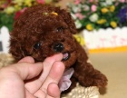 家养小体型 茶杯泰迪 玩具犬可见父母 包一年退换