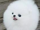 纯种哈多利版球体博美俊介幼犬 可爱至极 包您满意