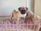 济南哪里有犬舍卖八哥犬 济南鹰版八哥怎么卖 八哥出售