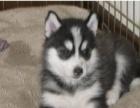 自家喂养的纯种三火双蓝眼哈士奇幼犬转让,欢迎爱狗的