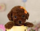 经典欧系灰色泰迪熊犬/高品质宠物犬/伴侣犬