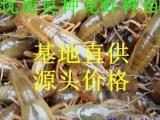 批发淡水小龙虾苗养殖技术 龙虾苗供应