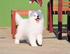 大连哪里有卖萨摩耶 纯种萨摩耶多少钱 微笑天使萨摩耶幼犬图片