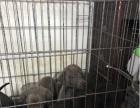 40天格力犬幼犬出售,五母一公