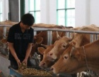 小牛犊价格小牛犊多少钱