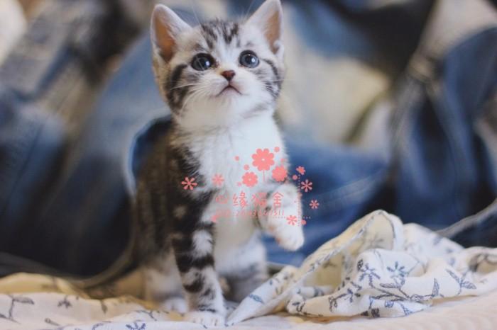 南京美短多少钱 南京哪里出售的美短幼犬价格较便宜