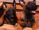 全国连锁双血统马犬繁殖基地 本地可上门