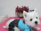 名犬西高地幼犬宝宝质量保证健康 血统纯正可刷卡