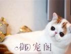 品质第一出售纯种大脸甜美一线加菲猫