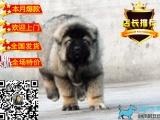 精品俄系高加索幼犬 包纯种保健康