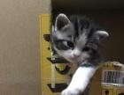 自己养美短宝宝满月美短加白起司猫找新家