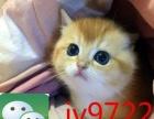 高颜值折耳猫 美短/英短蓝猫 定期打疫苗 健康出售