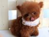 出售小型韩国贵宾犬.