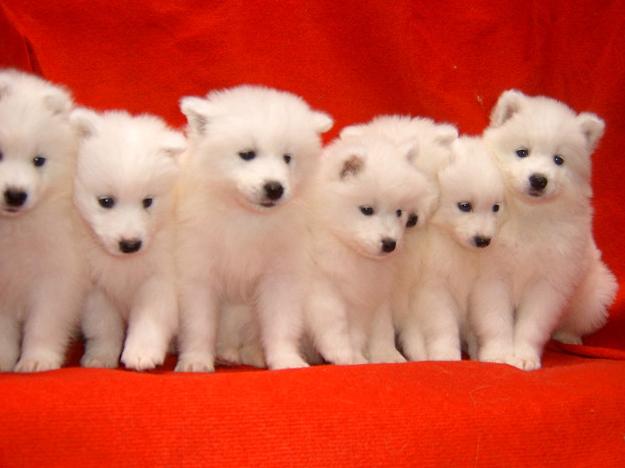 萨摩耶幼犬雪橇犬 白色天使 萌宠萌物