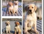 出售聪明温顺英系拉布拉多犬疫苗已完善**幼犬待售