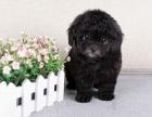 活泼可爱的纯种泰迪熊幼犬出售 玩具茶杯都有 不掉毛