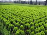板栗树苗批发口碑好的绿化苗木出售