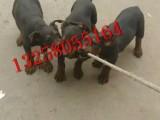 嘉兴小莱州红犬价格是多少 大骨架的莱州红犬多少钱一条