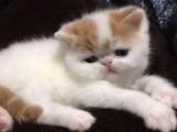 深圳什么地方有猫舍卖加菲猫/哪里有卖加菲猫
