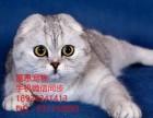 江门哪里有卖折耳猫多少钱一只折耳猫怎么挑选已做好疫苗驱虫