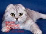 广州哪里有卖折耳猫多少钱一只折耳猫怎么挑选已做好疫苗驱虫
