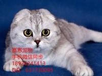 佛山哪里有卖折耳猫多少钱一只折耳猫怎么挑选已做好疫苗驱虫