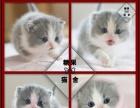 【蓝猫】——纯种健康蓝猫血统优秀名猫之后