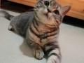 美短标斑宠物猫找主人