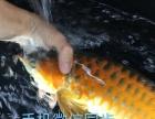 专营印尼壹号红龙鱼 金龙鱼