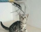 山西太原-萌猫生活馆-美短虎斑-英短蓝猫特价出售