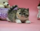 纯种波加菲猫出售 品质好 疫苗驱虫已做 健康保质