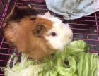 可愛的小天竺鼠荷蘭豬