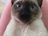 北京顺义后沙峪,自家暹罗猫,健康卫生,四个月小猫咪