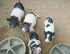 哪里有卖巴马香猪苗养殖场