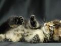 虎斑猫和幼猫疫苗已打