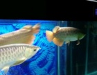 金龙鱼及鱼缸出售