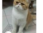 家养加菲猫出售哦