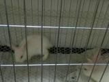 特价出售小兔子一对带90兔笼一个