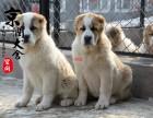 温州哪里有卖中亚牧羊犬的