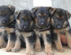 纯种黑背 精品德牧幼犬对外出售,品相好,黑脸保纯种 小