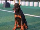 德系杜宾犬 高贵品质 杜宾幼犬裁耳 立耳已做 纯种保健康