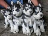 佛山哪里买狗 佛山哪里买狗的人较多 佛山正规犬舍
