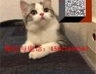 魔法猫公馆 出售幼猫,自家繁育,血统美短英短各种猫咪