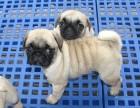 憨厚可爱的小巴哥幼犬保纯保健康 已做疫苗特价销售
