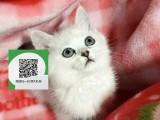 镇江哪里有蓝猫出售 镇江蓝猫价格 镇江宠物猫转让出售