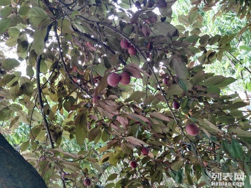 龙泉柏合镇罗家大院农家乐摘桃子李子草莓烧烤钓鱼一日游