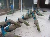 懷化孔雀苗 脫溫孔雀苗 全國包郵到家 專注孔雀養殖
