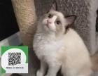 天津哪里有布偶猫出售 天津布偶猫价格 布偶猫多少钱
