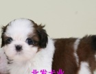 高雅气质西施犬玩赏犬伴侣犬的 疫苗全