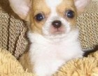 吉娃娃多少钱 健康质保 十佳犬舍
